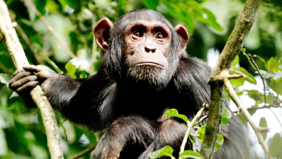 Zwei Schimpansen sind in einem Zoo in den Niederlanden aus ihrem Gehege geflohen (Symbolbild).