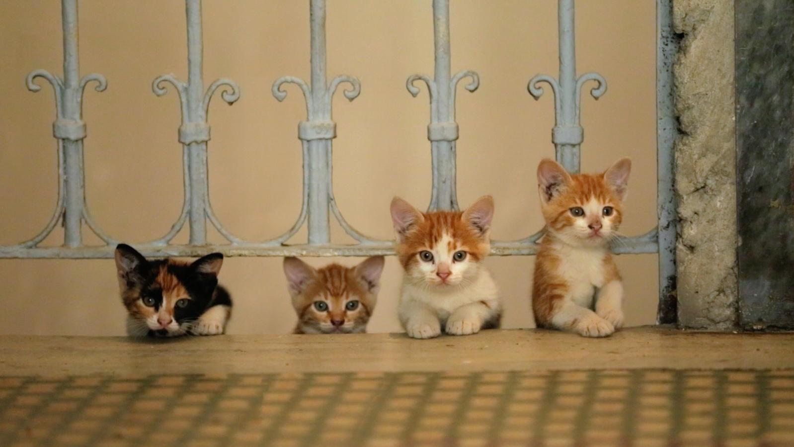 Die Katzenrassen sind anfängerfreundlich