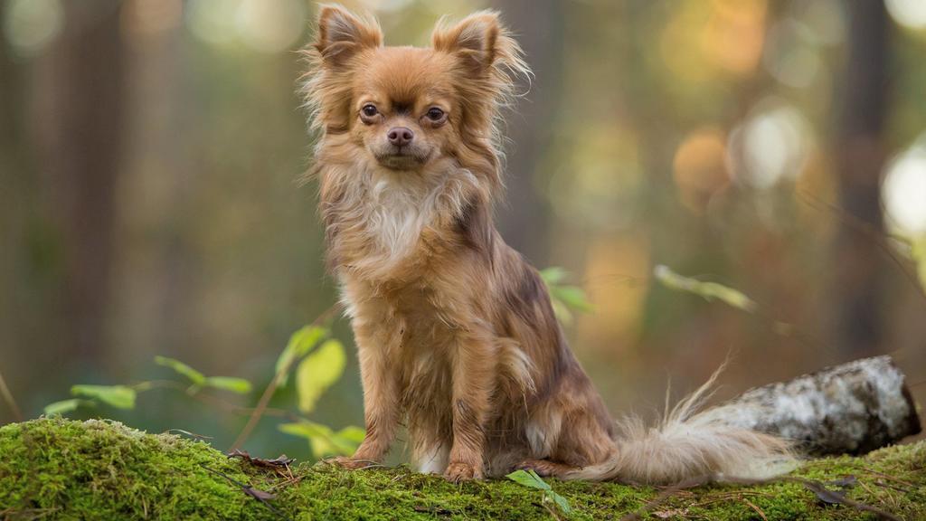 Brauner langhaariger Chihuahua sitzt im Wald