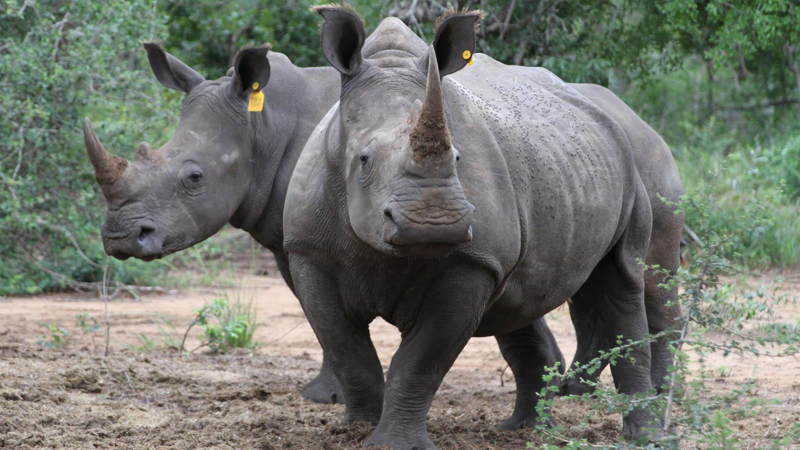 Wilderer haben in Namibia zwei Nashörner brutal getötet. (Symbolbild)