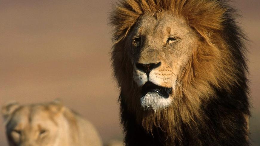 In freier Wildbahn leben in der Region um Johannesburg sonst keine Löwen (Symbolbild).