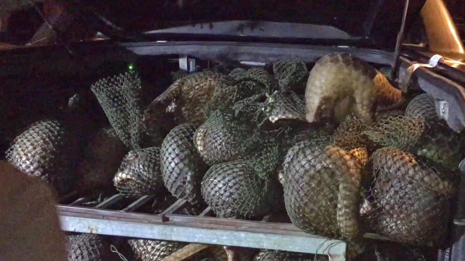 Viele Pangoline in Netzen gefangen
