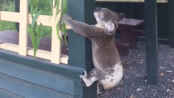 In Australien ist ein Koala im Jahr 2018 an einen Pfosten genagelt worden. Das Foto sorgte weltweit für Empörung.