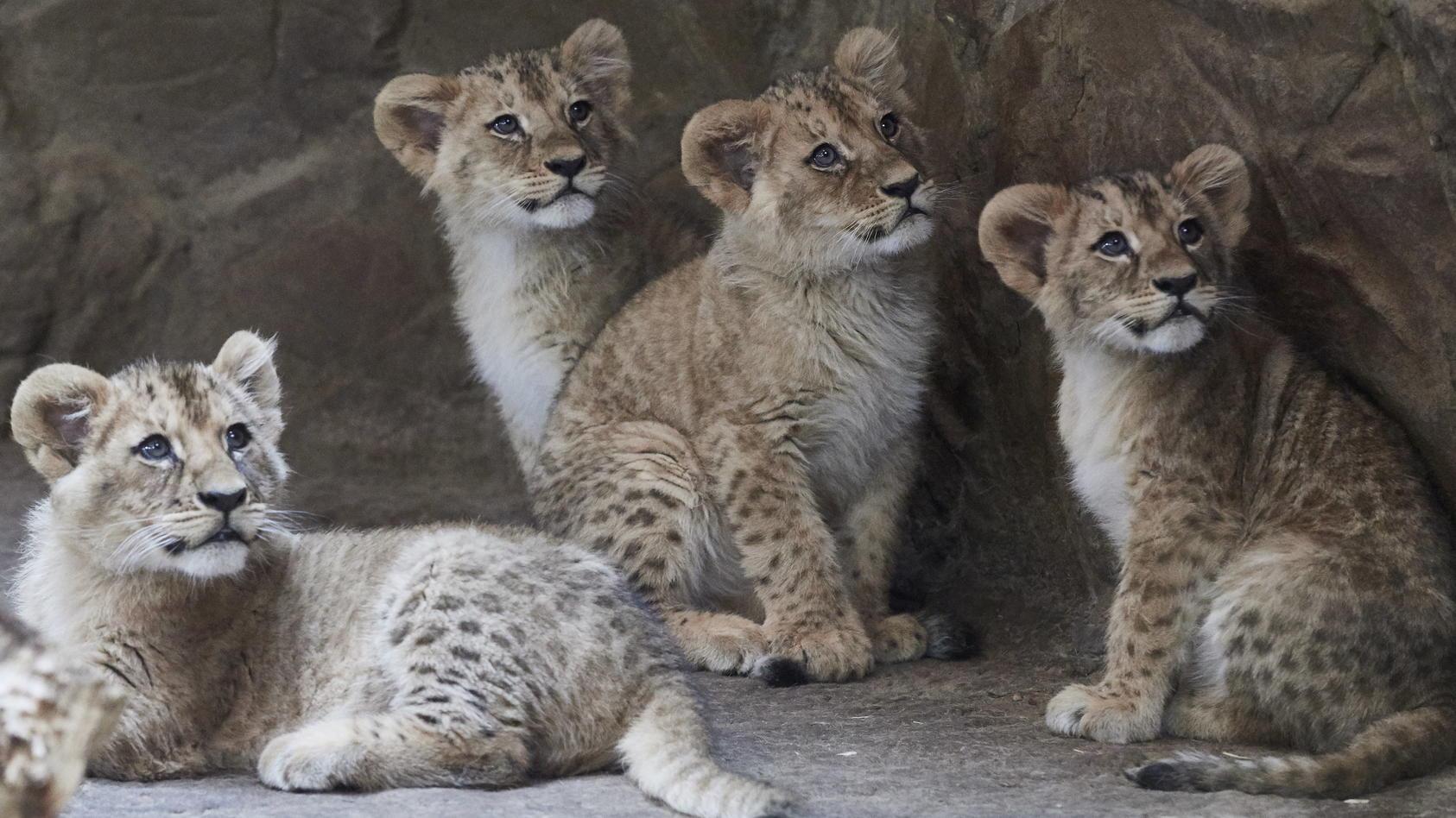 Löwenbabys in einem Zoo. (Symbolbild)