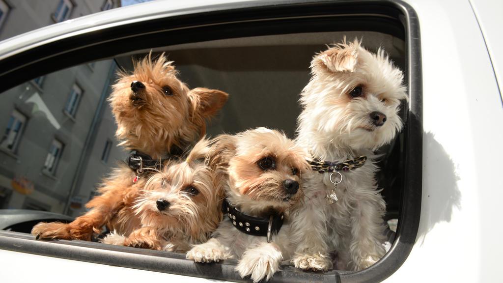 Vier Yorkshire Terrier schnuppern Frühlingsluft